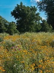 Juneflowers2 (michaelmaguire4) Tags: landscape flowers