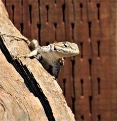 All brown (PenangCA) Tags: ranchosanantonio california summer hiking trail nature outdoor canon permanentecreektrail lowermeadowtrail highmeadowtrail wildcatlooptrail snapshotsunday inventyouradventure lizard brown