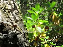 Leaves on the web (PenangCA) Tags: ranchosanantonio california summer hiking trail nature outdoor canon permanentecreektrail lowermeadowtrail highmeadowtrail wildcatlooptrail snapshotsunday inventyouradventure leaves tree web openspacepreserve midpensula