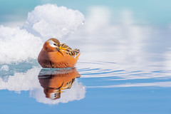 ᓱᑦᒐᒃ | Saurraq | Red Phalarope | Phalaropus fulicarius (Paul B Jones) Tags: ᓱᑦᒐᒃ saurraq redphalarope phalaropusfulicarius floeedge pondinlet nunavut arctic canada bird wildlife nature male breedingplumage canon eos1dxmarkii ef600mmf4lisiiiusm ef14xiii