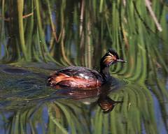Eared Grebe (Renee Wood) Tags: camasnationalwildliferefuge earedgrebe bird nature swimming idaho reflection