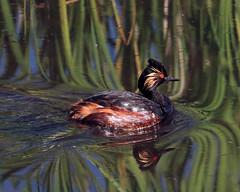 Eared Grebe (Renee Wood) Tags: camasnationalwildliferefuge idaho earedgrebe swimming reflections birds