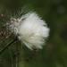 Eriophorum vaginatum (seed)   ワタスゲ