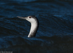 Behind the wave (v4vodka) Tags: bird birding birdwatching nature animal wildlife loon diver redthroatedloon redthroateddiver gaviastellata nurrdzawoszyi sterntaucher waterfowl 红喉潜鸟 longisland newyork