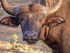 Cape Buffalo Up Close (moelynphotos) Tags: capebuffalo buffalo animalwildlife animalsinthewild safarianimal oneanimal headshot closeup horned africa southafrica limpopoprovince welgevondenprivategamereserve nature nopeople moelynphotos