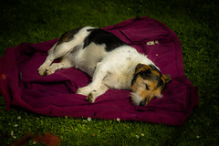 It's a hard life (tonguedevil) Tags: outdoor outside countryside summer nature garden dog pet animal sleeping red colour light shadows sunlight fujifilm