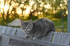 Barn Cat (Plonq) Tags: cat trees sunset grass feline manitoba canada