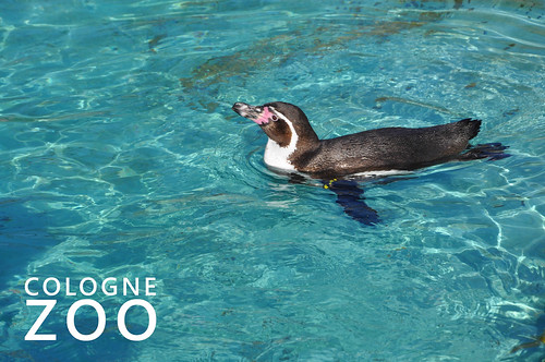 "Swimming Penguin in a blue pool with the picture title ""Cologne Zoo"""