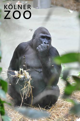 Sitzender Gorilla beim Essen in seinem Käfig im Kölner Zoo