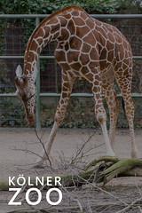 "Giraffe beugt ihren langen Hals während des Fressens, über dem Bildtitel ""Kölner Zoo"" (verchmarco) Tags: köln tiergarten 2017 zoogehege tierpark animals kölnerzoo tiere zoo nordrheinwestfalen deutschland wildlife tierwelt nature natur giraffe noperson keineperson wild animal tier outdoors drausen safari barbaric barbarisch mammal säugetier long lange grass gras large gros head kopf neck hals danger achtung big camouflage tarnen savanna savanne2019 2020 2021 2022 2023 2024 2025 2026 2027 2028 2029 2030 restaurant windows xmas countryside outside colours seascape naturaleza ciel christmastree"