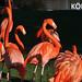 Mehrere, rote Flamingos stehen auf einer Wiese am Wasser, neben dem Bildtitel: