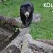 Schwarzer Malaienbär balanciert über einen Holzstamm auf der Wiese, neben dem Bildttitel