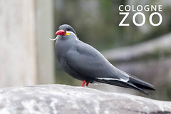 "Larosterna Inca bird with red beak and Italian moustache, standing on a stone next to picture title ""Cologne Zoo"" (verchmarco) Tags: köln tiergarten 2017 zoogehege tierpark animals kölnerzoo tiere zoo nordrheinwestfalen deutschland bird vogel wildlife tierwelt nature natur outdoors drausen noperson keineperson animal tier wild feather feder winter beak schnabel seagulls möwen horizontal birdwatching vögelbeobachten ornithology vogelkunde zoology zoologie sideview seitenansicht snow schnee looking suchen barbaric barbarisch freedom freiheit2019 2020 2021 2022 2023 2024 2025 2026 2027 2028 2029 2030 restaurant windows xmas countryside outside colours seascape naturaleza ciel christmastree"