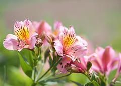 pink peruvian lilies (Christine_S.) Tags: flowers spring pink olympus bokeh omd mirrorless japan nature garden closeup macro 45mm em10markiii lilyoftheincas alstroemeria アルストロメリア ngc npc