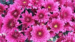 Chrysanthemums (█ Slices of Light █▀ ▀ ▀) Tags: flowers red flora chrysanthemums phone samsung 8 note bunga kekwa 菊属 park sea malaysia pj kuala 20 petaling section jaya lumpur pasar selangor 市場 馬來西亞 吉隆坡 马来西亚 八打灵 八打灵再也