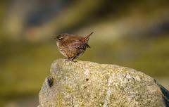 (1/2) a Wren on a Rock (Franck Zumella) Tags: bird oiseau wren light lumiere sing song chant chanter tree arbre couleur color wonderful pink spring troglodyte troglo sony a7s a7 tamron 150600 nature animal