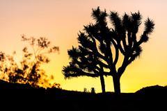 California desert sunset (_gate_) Tags: 2019 arizona kalifornien melanie nevada patrick usa utah joshua tree national park np california californian dessert sunset sun set may mai travel road trip