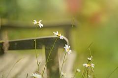 Daisy Bench...  #HappyBenchMonday #HBM (KissThePixel) Tags: bench benchmonday happybenchmonday woodenbench daisy daisies focus depthoffield bokehlicious bokeh f12 nikkor nikon nikondf df 50mm july summer summerdays summermeadow summerlight light macromonday