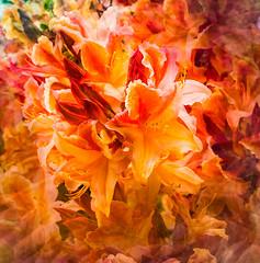 Rhododendron (judy dean) Tags: gardens judydean 1835mm scotland 2019 mellerstain rhododendron orange