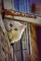 Lola. (Lucía F.) Tags: nature white blanco azul mirada mañana morning eyes ojos cristal animal pelo heterocromía ventana window nikon gato cats cat
