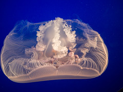 Moon jelly (Teelicht) Tags: aquarium california kalifornien monterey montereycounty moonjelly nordamerika northamerica pazifischeohrenqualle qualle usa unitedstatesofamerica vereinigtestaaten jellyfish aurelialabiata