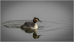 Crested Grebes (Charles Connor) Tags: greatcrestedgrebes crestedgrebes grebes grebeswithchicks divingbirds featherdetail water smoothwater reflections chicks canondslr