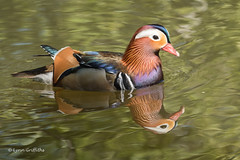 Mandarin Duck - Male 501_9986.jpg (Mobile Lynn) Tags: wildfowl nature birds ducks mandarinduck aixgalericulata anseriformes bird duck fauna wildlife estuaries freshwater lagoons lakes marshes ponds waterfowl webbedfeet egham england unitedkingdom