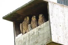 Faucon trio 190628-11 (paul.vetter) Tags: faucon rapace falcotinnunculus turmfalke