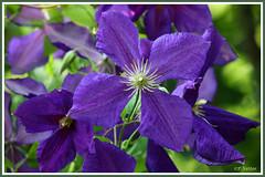 Fleur bleue 190630-01-P (paul.vetter) Tags: fleur plante