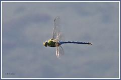 Libellule 190630-01 (paul.vetter) Tags: insecte odonate libellule