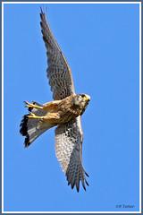 Faucon nichoir vol 190628-01-RVP (paul.vetter) Tags: falcotinnunculus fauconcrécerelle rapace turmfalke