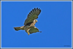 Faucon premier coup d'ailes 190629-01-RP (paul.vetter) Tags: ornithologie ornithology faune animal bird fauconcrécerelle falcotinnunculus commonkestrel rapace cernícalovulgar peneireirovulgar turmfalke