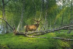 I see you (Sizun Eye) Tags: deer nature wildnature nordland norway animal forest birch sizuneye nikond750 tamron2470mmf28 arctic
