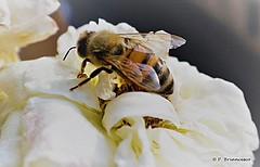 DSCN1654_Bee (orsapolaris54) Tags: flowerphotography flowers flower naturephotography naturelovers macro macrophotography closeup closeupphotography bee ape insekten insect insectphotography fiore pianta natura