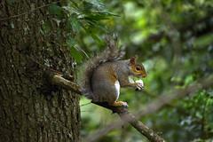 Basingstoke Canal Ash-Aldershot 30 June 2019 022 (paul_appleyard) Tags: basingstoke canal ash surrey june 2019 squirrel nut eating