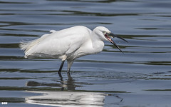 Who Will Catch The Little Fishy......... (davidrhall1234) Tags: egret littleegretegrettagarzetta rspbfairburnings fairburnings yorkshire rspb birdsofbritain beak bird bbcspringwatch countryside conservation feather hunting fishing nature nikon outdoors springwatch wildlife world wetland
