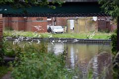 Basingstoke Canal Ash-Aldershot 30 June 2019 027 (paul_appleyard) Tags: basingstoke canal ash surrey june 2019 gulls bridge stack