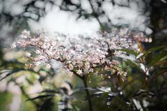 Sambucus Nigra (judy dean) Tags: judydean 2019 garden elder flowers sambucus nigra