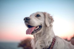 Our conversation was short and sweet It nearly swept me off my feet And I'm back in the rain, oh And you are on dry land You made it there somehow You're a big girl now - dylan #goldenretriever ⚡️ #althea (Alex Beattie) Tags: althea golden dog california westlake artisanbrandingcom