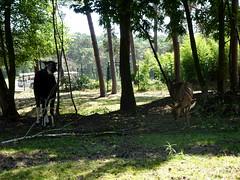 hilvarenbeek_6_105 (OurTravelPics.com) Tags: hilvarenbeek okapi nyalas safaripark beekse bergen