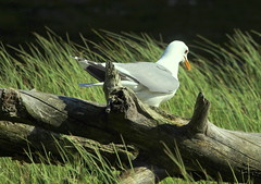 The gull on the deadwood. (irio.jyske) Tags: naturepic naturepictures naturephotograph naturephoto naturescape naturephotos nature naturephotographer natural naturepics pond water wilderness wildlife wildanimal wild animalphotograph animalphotographer animal animals birdphotographer birdphotograph birdphoto birdpics bird colors summer nice beauty beautiful gull