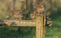 A happy family (fire111) Tags: little owl steenuil family owls birds birding wild wildlife nature photography belgium athene noctua