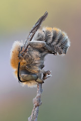 Bastardbiene | Anthidium byssinum (maldiesmaldas.de) Tags: stacking bracketing natur naturerocks naturelovers makro macro olympus zuiko 60mm karlstadt main bee biene anthidium byssinum bastardbiene zerene