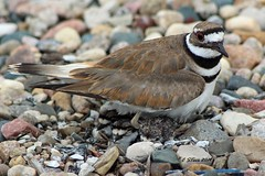 IMG_1017 killdeer (starc283) Tags: killdeer flickr flicker starc283 bird birding birds nature natures finest watcher nebraska wildlife