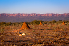 Male Springbok beneath the Waterberg Plateau, Namibia 2019 (Beppie K) Tags: namibia africa waterbergplateau ccf cheetahconservationfund springbok antelope termitemounds savannah
