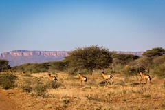 Red Hartebeest beneath Waterberg Plateau, Namibia 2019 (Beppie K) Tags: namibia africa cheetahconservationfund ccf hartebeest redhartebeest wildlife waterbergplateau