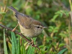 Yellowish-bellied Bush-Warbler (Ken Behrens) Tags: kenbehrens taiwan tropicalbirding asia birds nature mountains endemics