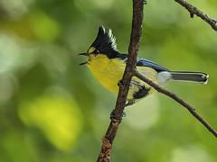 Yellow Tit (Ken Behrens) Tags: kenbehrens taiwan tropicalbirding asia birds nature mountains endemics