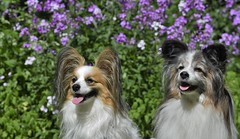 Our Papillons (hd.niel) Tags: papillon dog trainable companion canine agility energetic pets