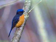 Vivid Niltava (Ken Behrens) Tags: kenbehrens taiwan tropicalbirding asia birds nature mountains endemics
